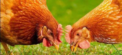 des poules à la maison