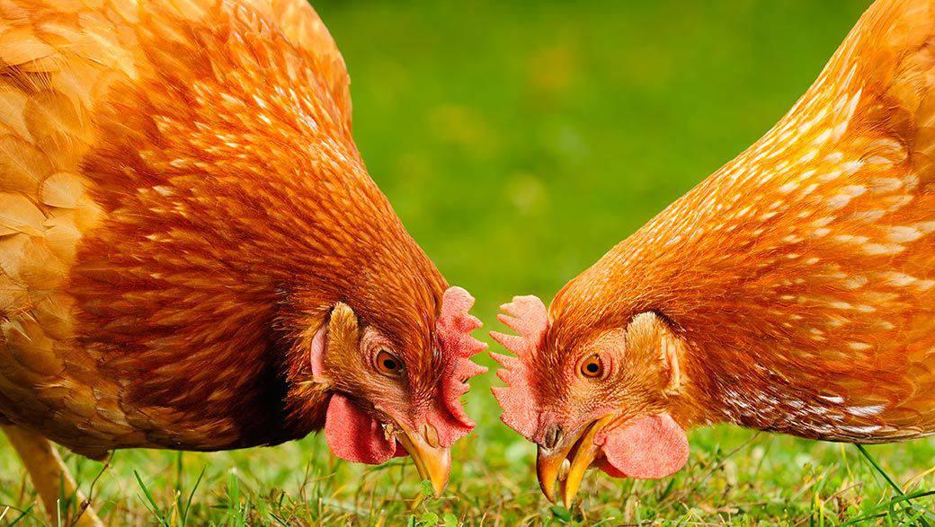 Adoptez deux poules et faites 200 euros d 39 conomies par an for Bien nourrir ses poules
