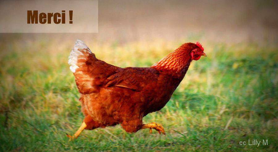 Adoptez deux poules et faites 200 euros d 39 conomies par an - Image de poule ...