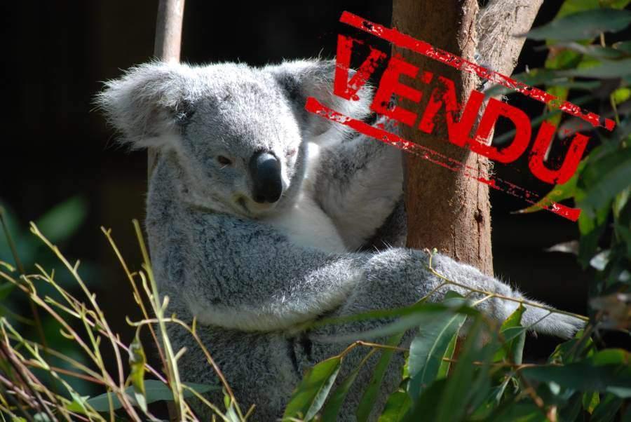 koala vendu