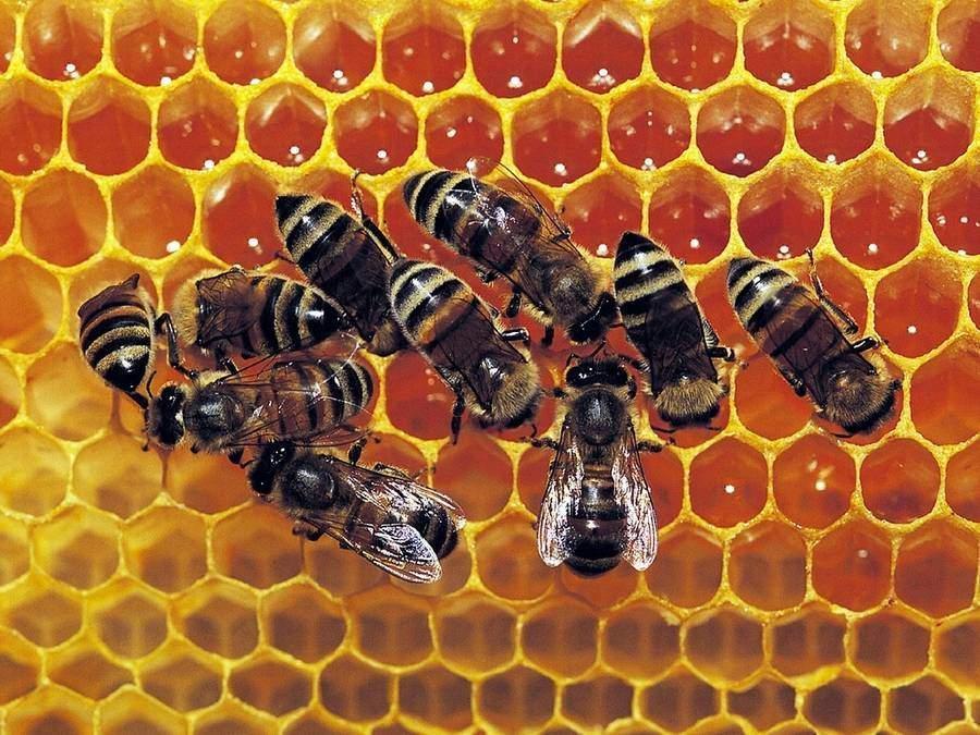 capacité des abeilles