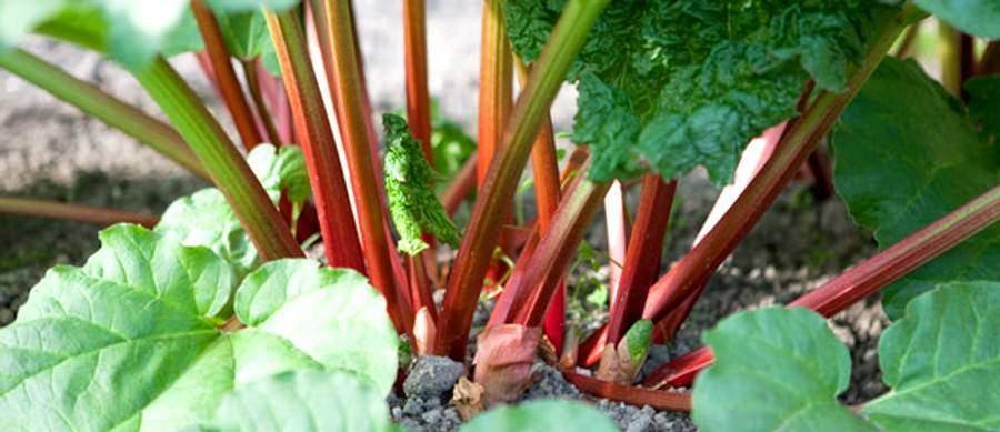 rhubarbe pour lutter contre le cancer