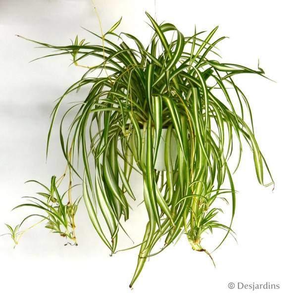 Des plantes d polluantes pour purifier l 39 air de la maison for Plante maison