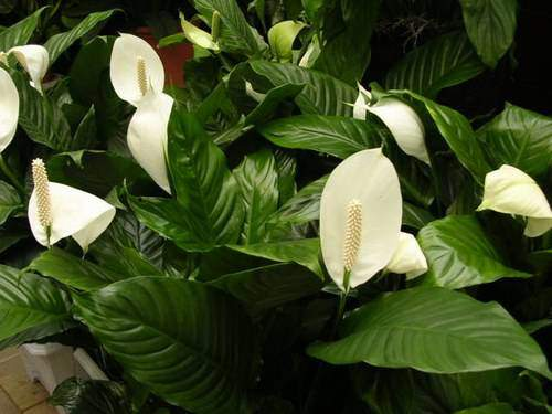 Des plantes d polluantes pour purifier l 39 air de la maison - Plante qui purifie l air ...
