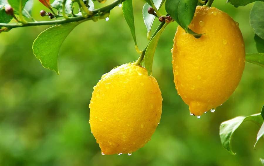 Les pouvoirs du citron un produit naturel souvent copi rarement gal - Quand cueillir les citrons ...