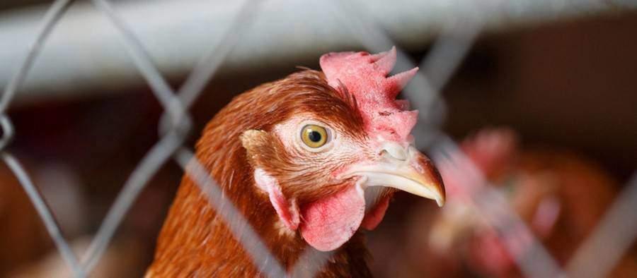 oeufs de poules