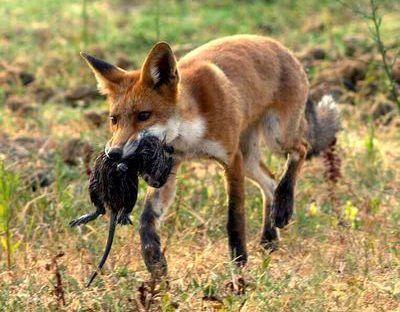 Le renard roux ce voleur de poule qui nous veut du bien for Qu est ce que mange une poule