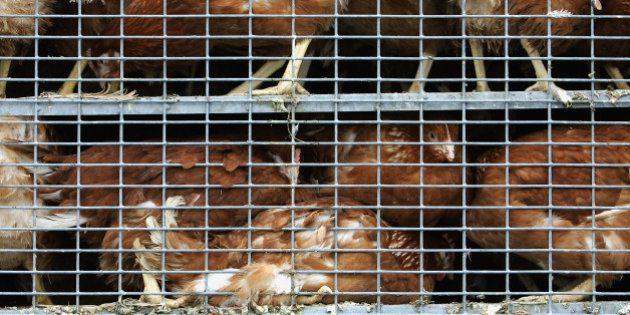 oeufs de poules élevées en cage