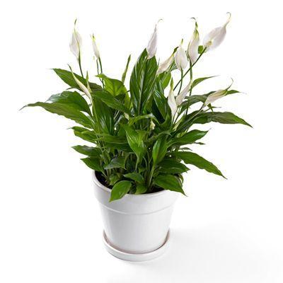 11 plantes vertes dans la chambre contre les troubles du - Plante dans une chambre ...