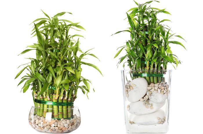 Lucky bambou la plante porte bonheur feng shui - Plante d interieur porte bonheur ...