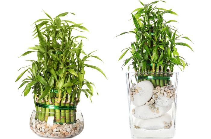 lucky bambou la plante porte bonheur feng shui. Black Bedroom Furniture Sets. Home Design Ideas