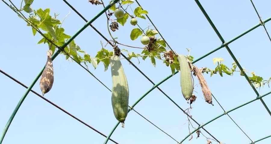 éponge végétale